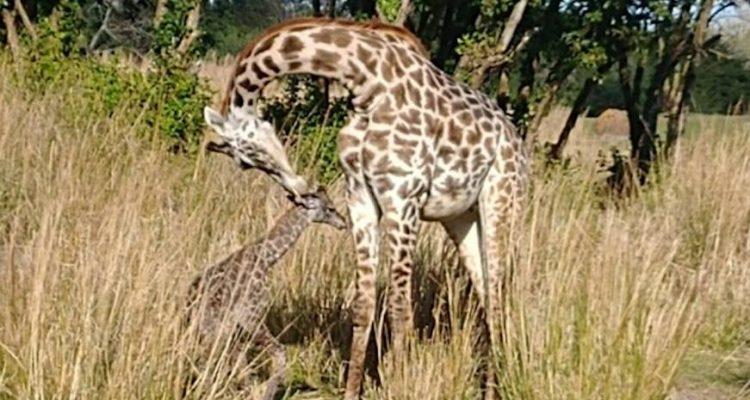Disney giraffe calf