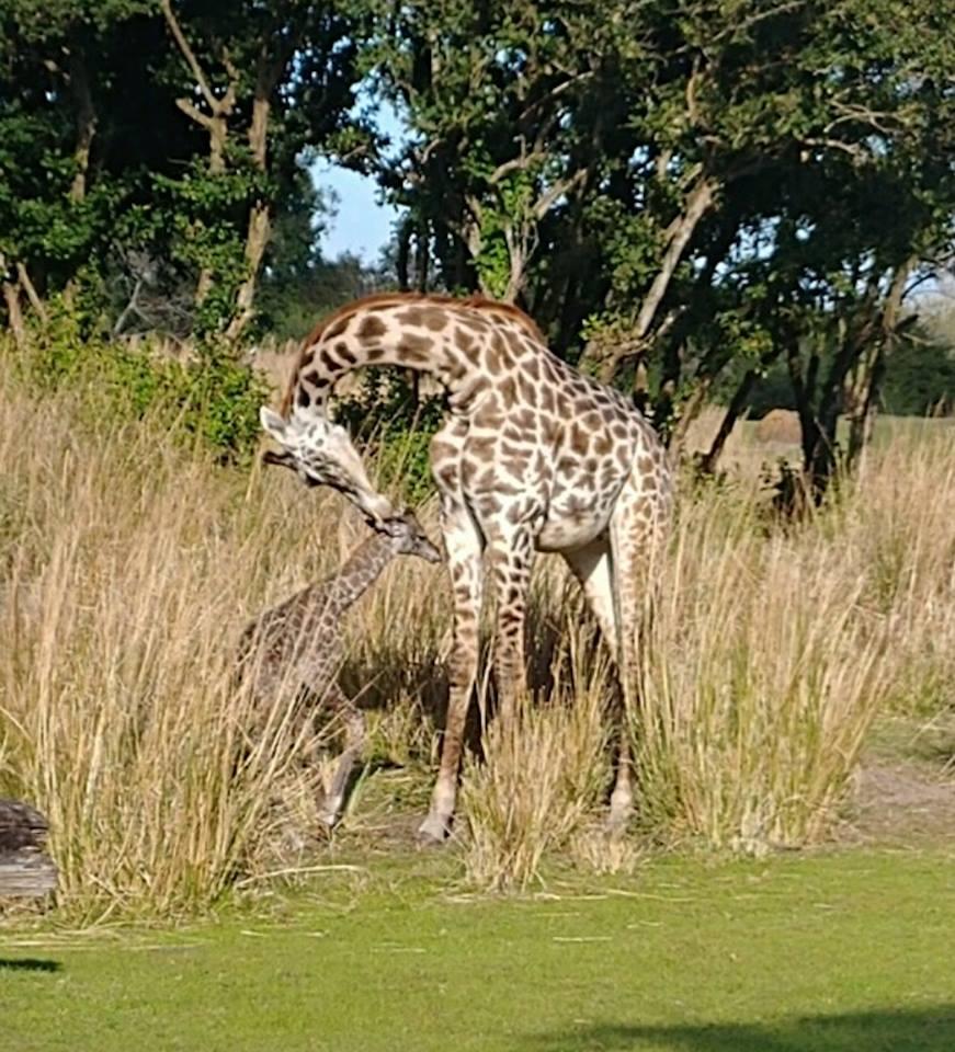 Giraffe Calf Born At Disney S Animal Kingdom Orlando Rising
